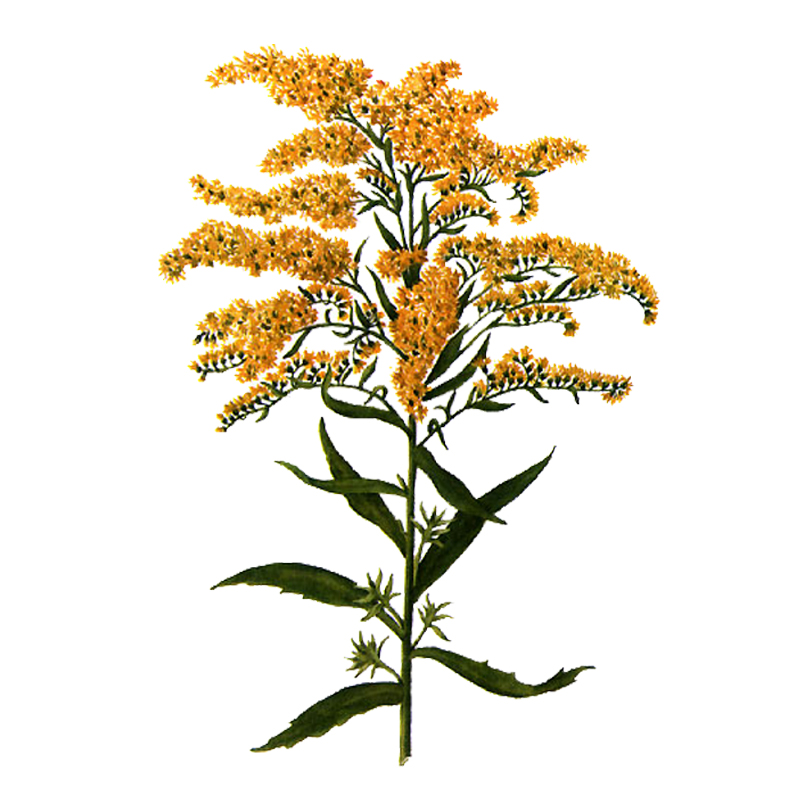 Goldenrod Extract
